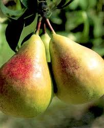 Anjou Pear Tree